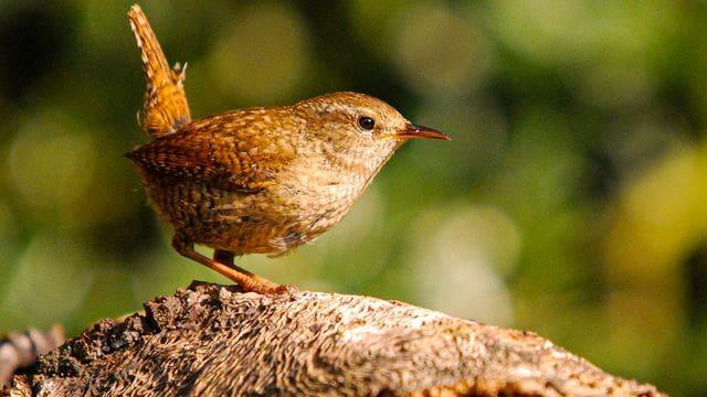 Una petita bola de plomes amb la cua aixecada: el cargolet.