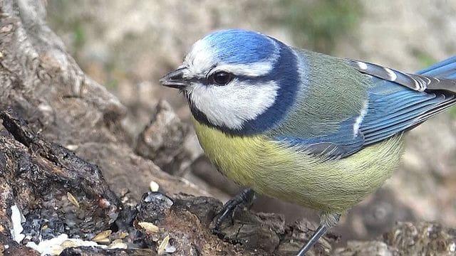Per comuna que sigui, la mallerenga blava és un ocell molt agraït de fotografiar.