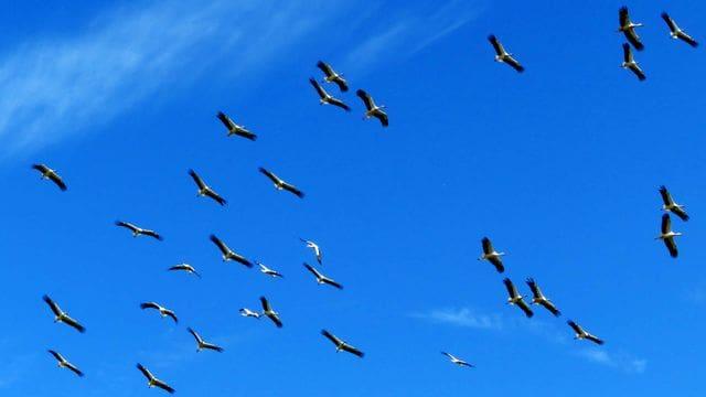A més de la població local, les cigonyes poden passar a centenars per sobre l'estany en migració.