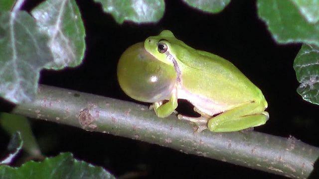 La reineta, una granota arborícola capaç de muntar un autèntic concert nocturn.