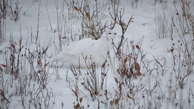 La perdiu blanca, a més de sobreviure al fred, ha de passar desapercebuda als depredadors.