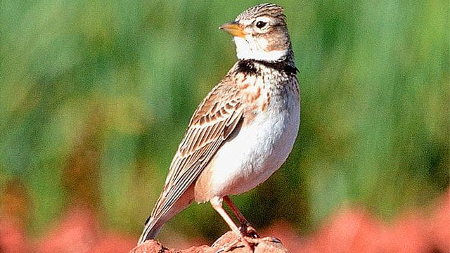 La calàndria, ocell propi dels secans.