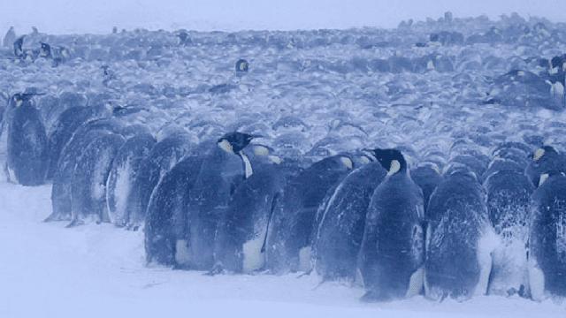 Cada un d'aquests pingüins mascles, està covant un ou entre els peus. La temperatura exterior és de -30ºC.