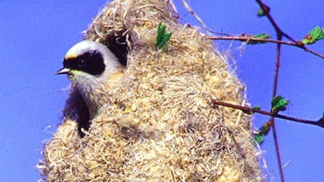 Un teixidor al seu niu característic. Aquest és un ocell molt abundant a l'estany.