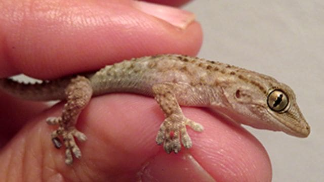 Els dragonets presenten adaptacions formidables, com unes ventoses als dits que els permeten pujar pels indrets més lliscosos.