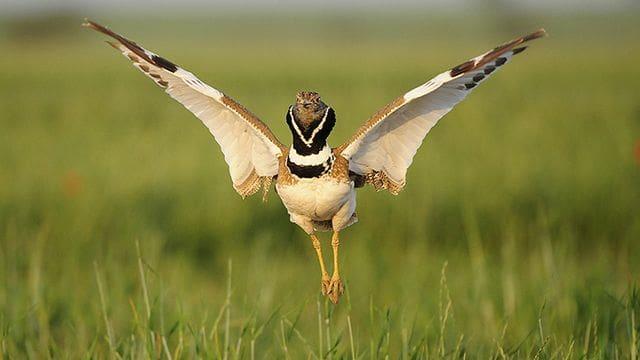El sisó, un ocell en clara regressió a tot Europa, encara sobreviu als secans de Ponent.