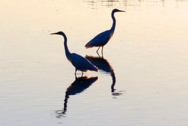 I què dir dels Aiguamolls? Combinant els ocells de l'Albera amb les espècies aquàtiques dels Aiguamolls, aquest pot ser un cap de setmana en què fem una llista moooolt llarga d'ocells!
