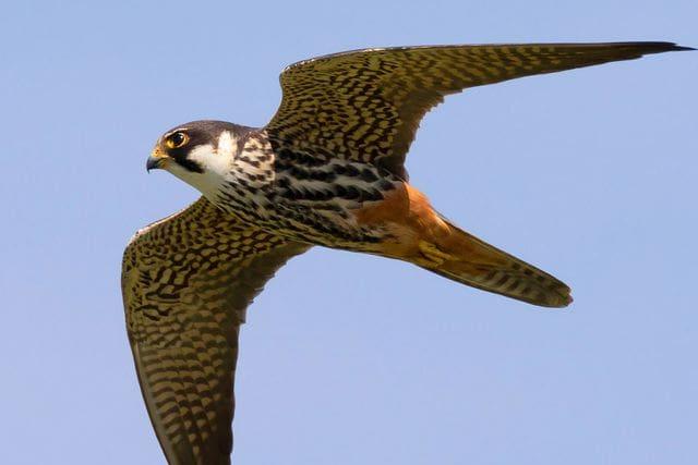 El falcó mostatxut pot passar volant ben ràpid perseguint preses a l'aire, incloent-hi els rapidíssims falciots.