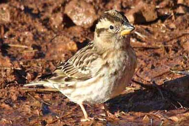El pardal roquer, ocell en expansió al Moianès.