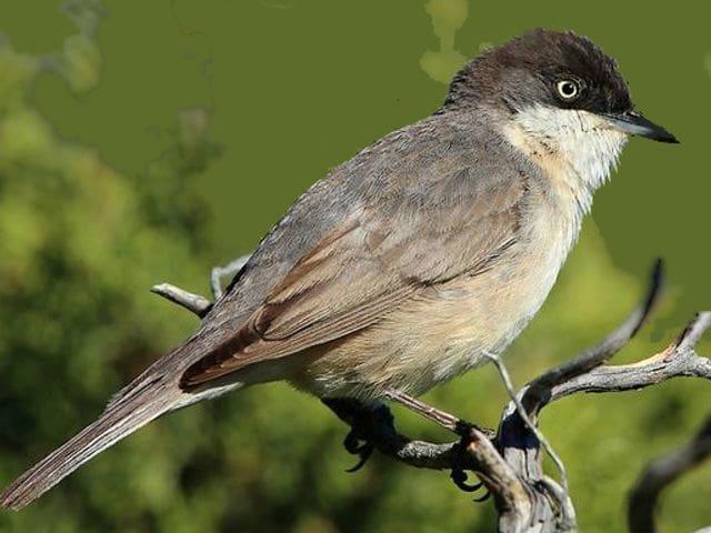 Serà un bimbo per tu el tallarol emmascarat? És un ocell fàcil de detectar als llocs on es troba però té una distribució dispersa per tot el territori català que fa que sigui un ocell poc conegut.