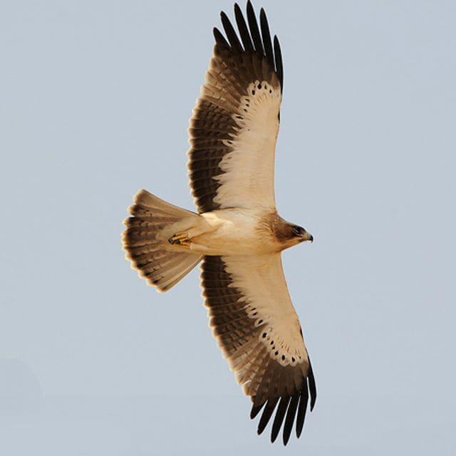 """L'àguila calçada és una de les àguiles """"blanques"""" del nostre país. Saps quina combinació de blanc/negre la distingeix?"""