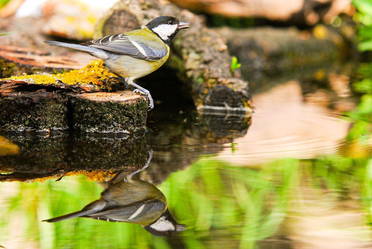 Les mallerengues, malgrat ser ocells comuns i propers, amaguen aspectes interessantíssims sobre el seu comportament. En aquest curs en veuràs nombrosos exemples.