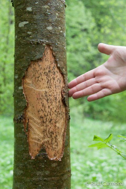Només si aprens a llegir el paisatge amb uns altres ulls podràs saber qui ha mossegat aquest arbre.