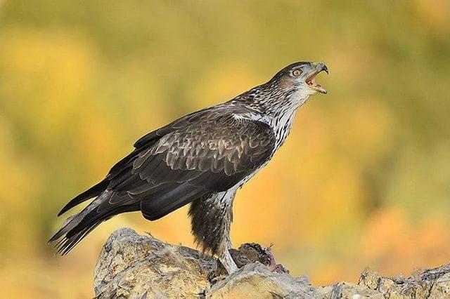 Al parc hi cria l'àguila cuabarrada, el nostre rapinyaire en situació de conservació més precària.