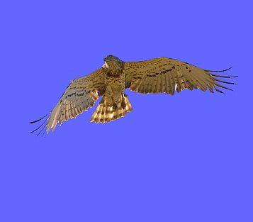 L'àguila marcenca és una devoradora de rèptils que caça a plaer als secans. I una bona notícia: les seves poblacions van en augment i cada vegada és més abundant (Foto: Fran Trabalon)