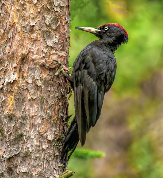 El picot negre, un dels ocells estrella del Cadí