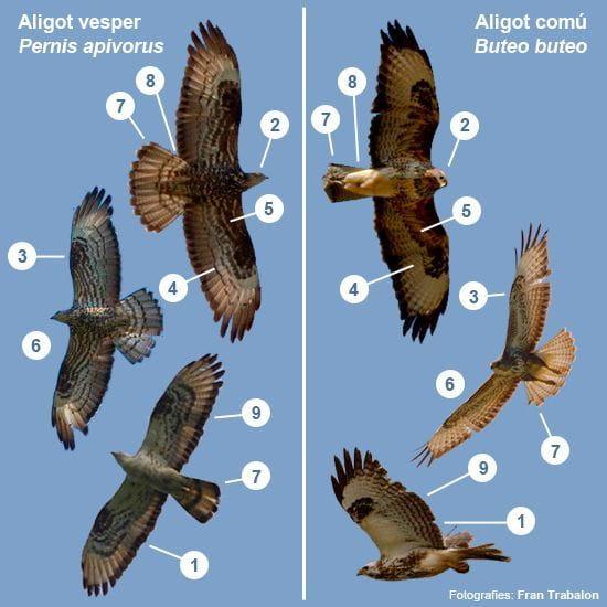 Aligot comú i aligot vesper, un clàssic malson per al principiant (i no tan principiant...). (Composició: Àlex Ollé i Fran Trabalon)