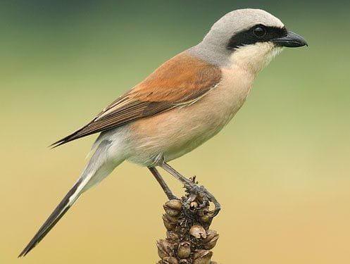 L'escorxador, un ocell comú a la zona que visitarem.