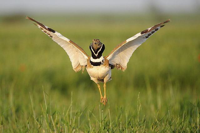 Un dels ocells més espectaculars que podem trobar als secans és el sisó, que ara està a ple rendiment fent els seus displays d'aparellament (Foto: Jordi Bas)