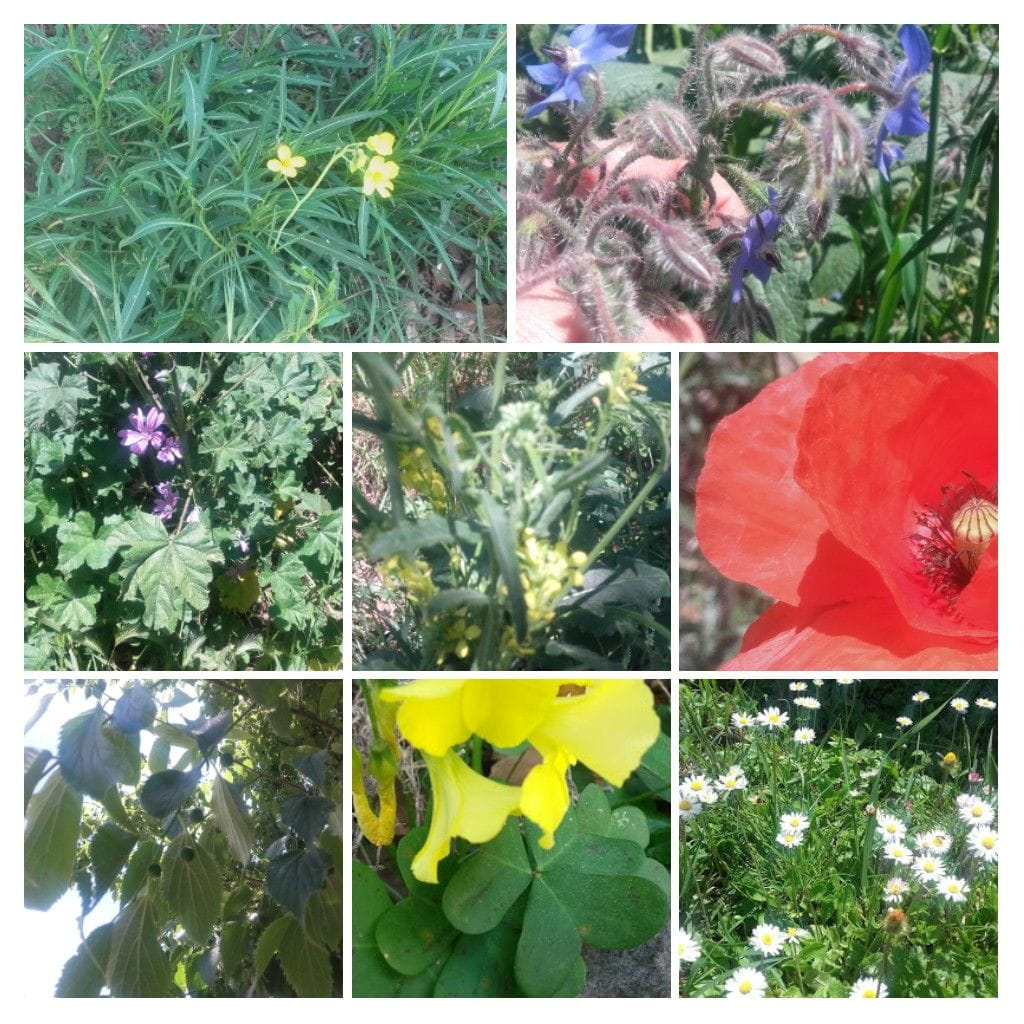 Oxalis, Malva, Rúcula, Amapola, flor de mostaza, margarita &  Cornus mas, el cornejo macho.
