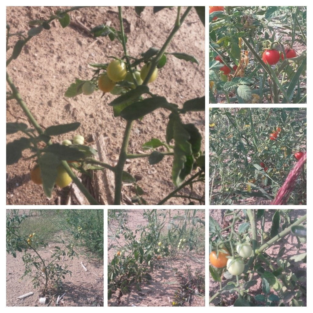 Tomates silvestres