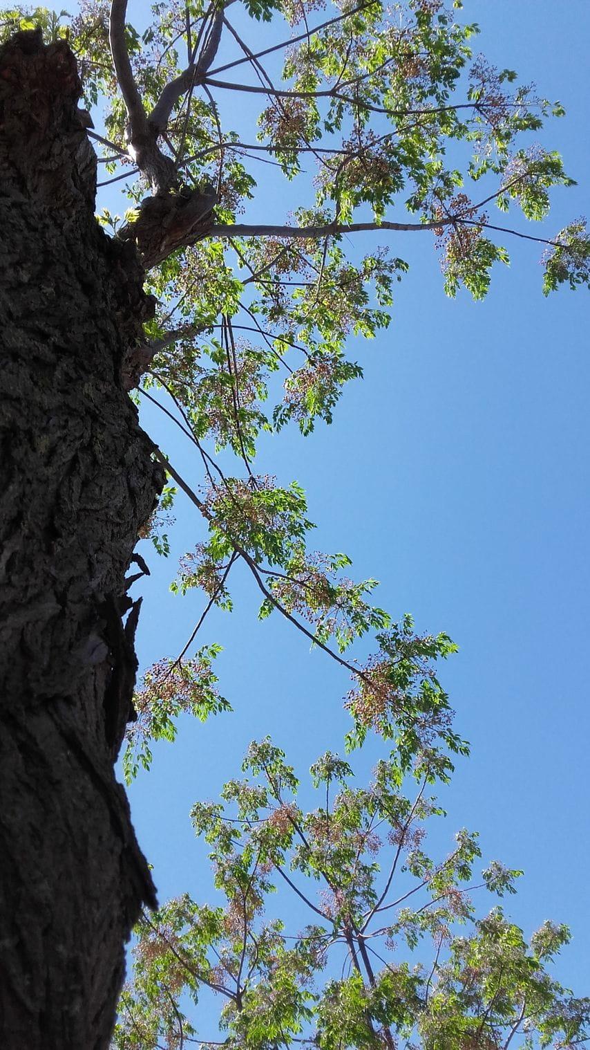 Melia azedarach, llamado popularmente cinamomo, agriaz, piocha, canelo, lila, paraíso sombrilla.