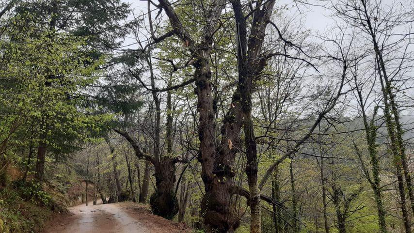 Ruta dels Castanyers Vells