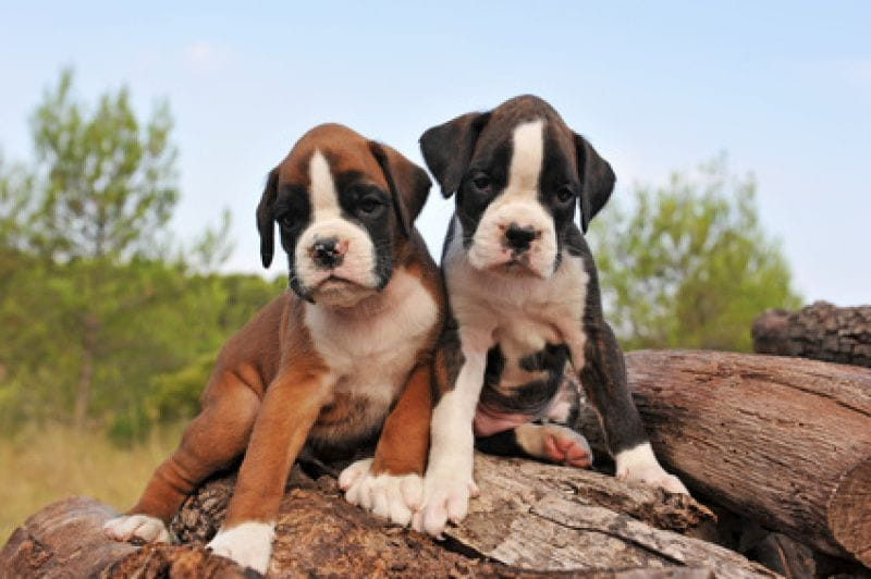 boxer cachorros de boxer criadores de boxer. Black Bedroom Furniture Sets. Home Design Ideas