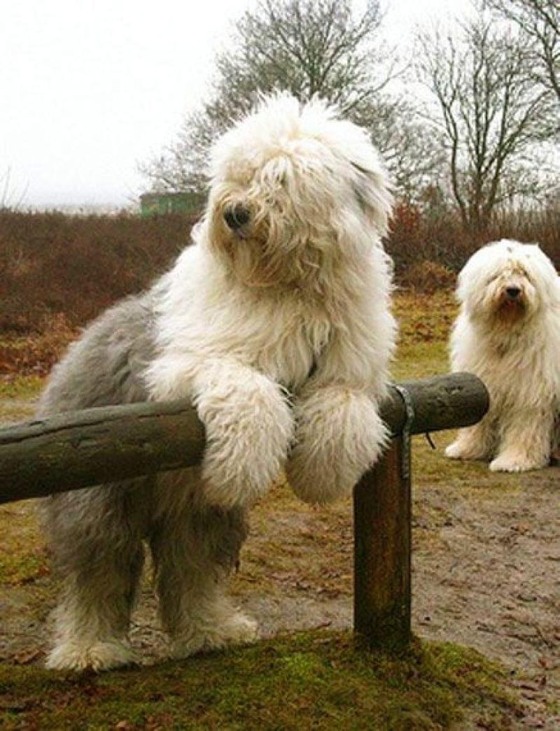 machos y hembras disponibles. Entregamos a los cachorros con ... Black And White Short Hair Chihuahua