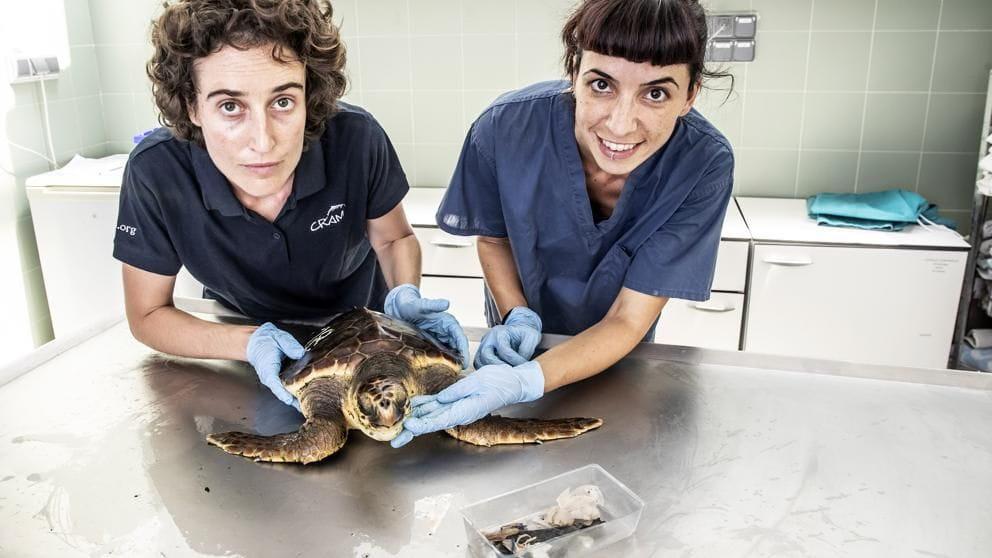 Elsa Jiménez, directora del CRAM del Prat, i la tècnica Marta González ensenyen una tortuga babua afectada per l'ingestió de plàstics (Foto: Llibert Teixidó)