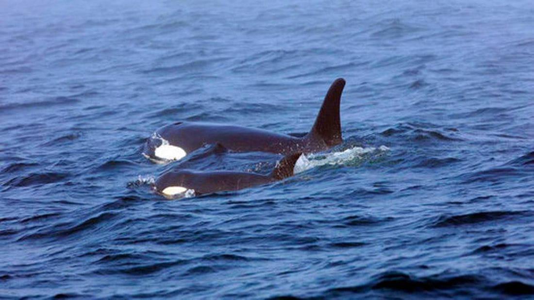 Fotografía del 7 de agosto, donde se muestra a la orca J50, nadando junto a su madre J16. Fisheries and Oceans Canada VIA AP Archivo BRIAN GISBORNE
