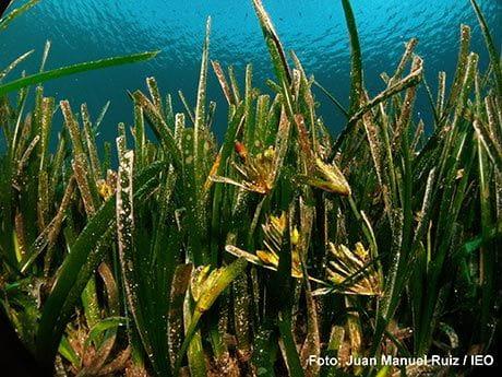 Posidonia Oceánica durante la floración (Foto Juan Manuel Ruíz)