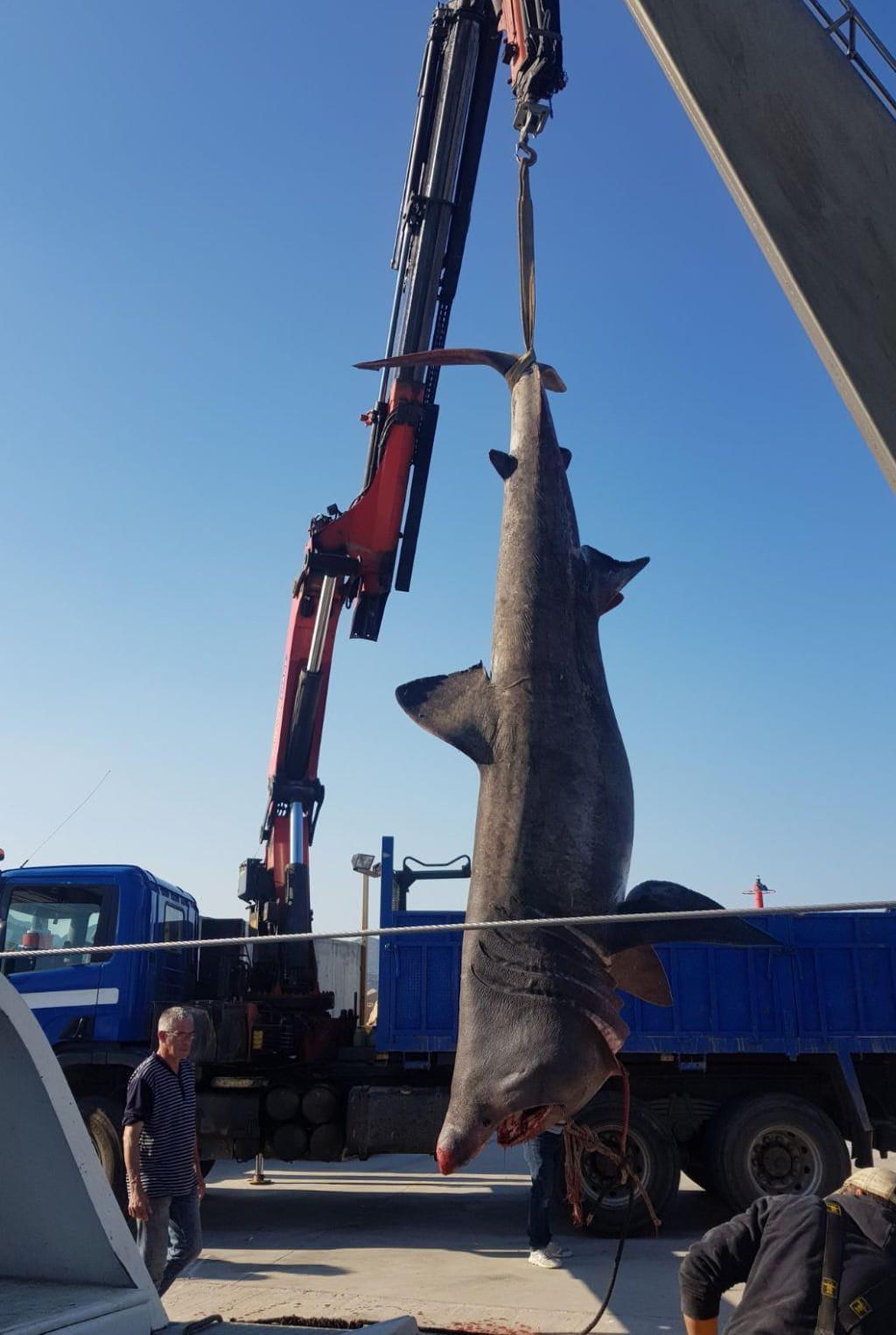 Tiburón peregrino, pescado en Llançà