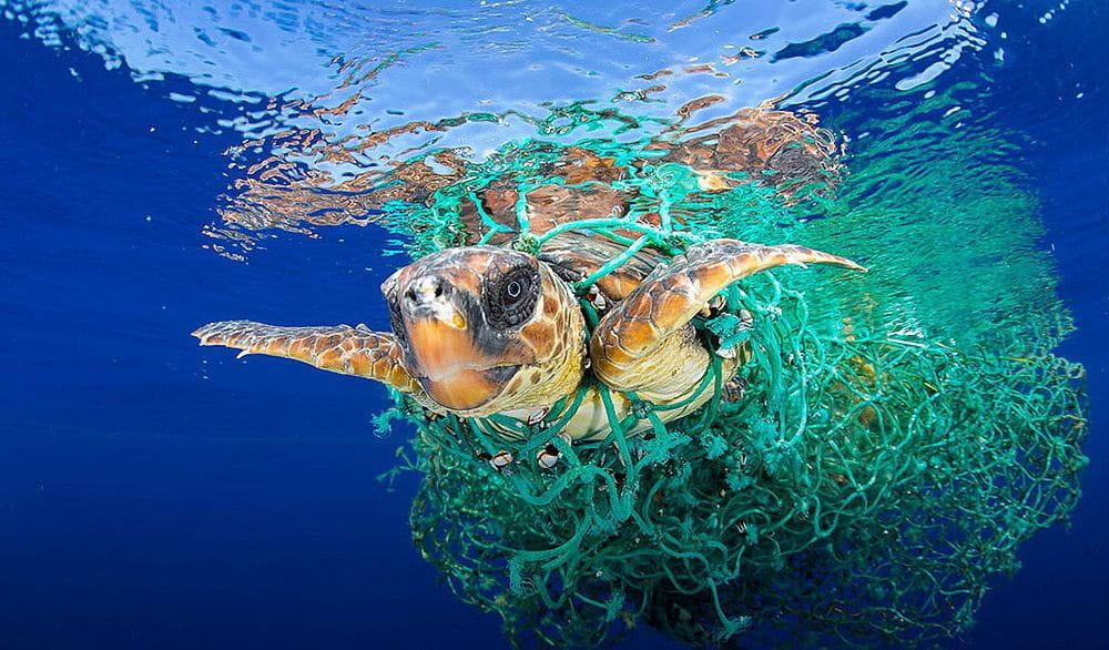 Tortuga atrapada a una red