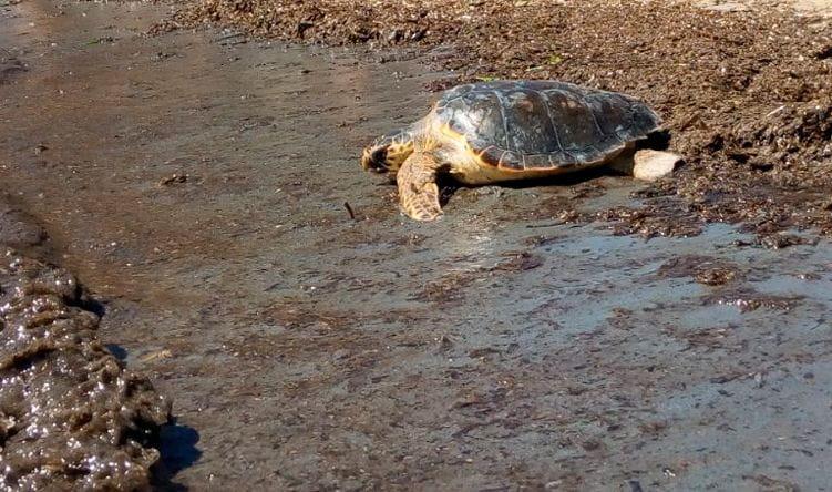 Una de las tortugas liberadas en l'Atmella de Mar