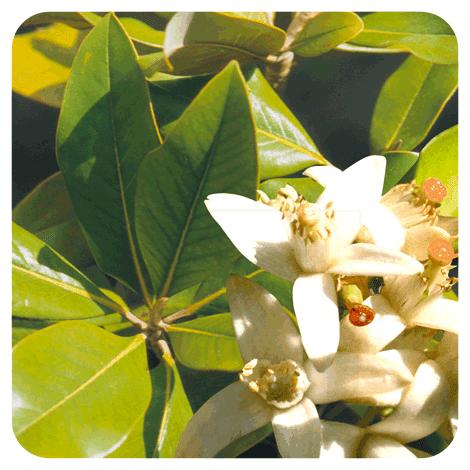 Citrus aurantium ssp amara