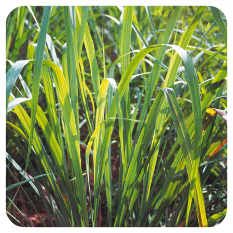 Cymbopogon winterianus