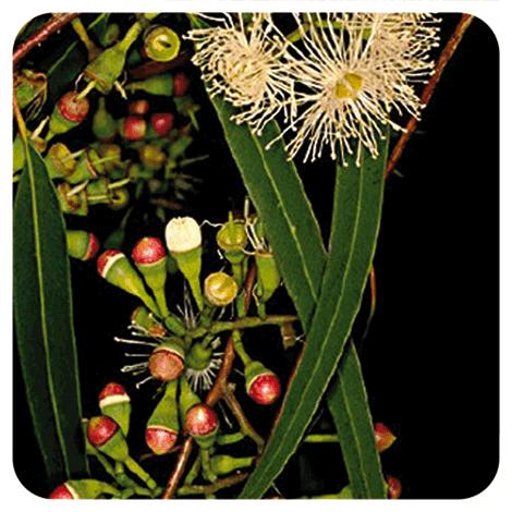 Eucalyptus radiata ssp radiata