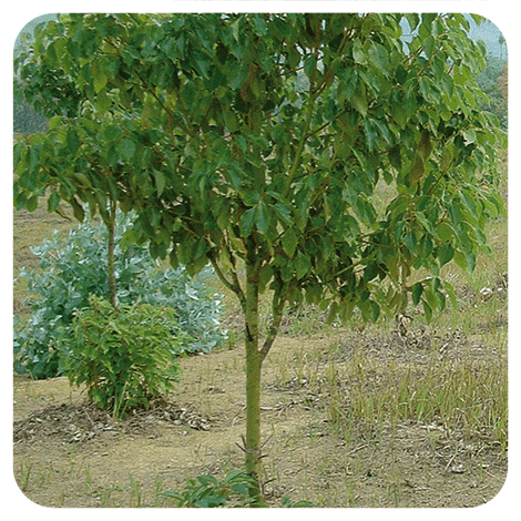 Cinnamomum camphora QT cineole